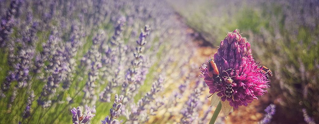 headerlavender
